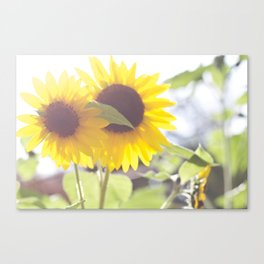 Sunflowers From My Mother-in-law's Garden Canvas Print