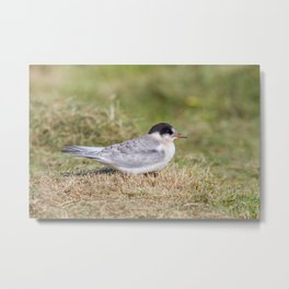 Young Common Tern Metal Print