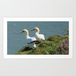 A pair of nesting Gannets Art Print