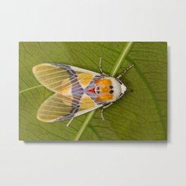 Idalus carinosa moth Metal Print