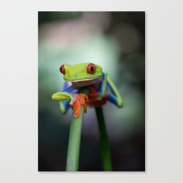 Costa Rican Tree Frog Canvas Print