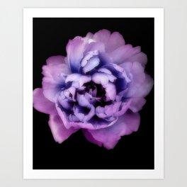 Indulgent Darkness, Violet Peony Art Print
