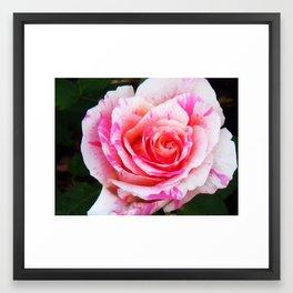 Red white Rose Close up Framed Art Print