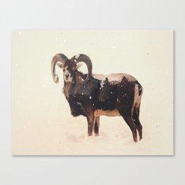 Veluwe: Corsican Sheep Canvas Print