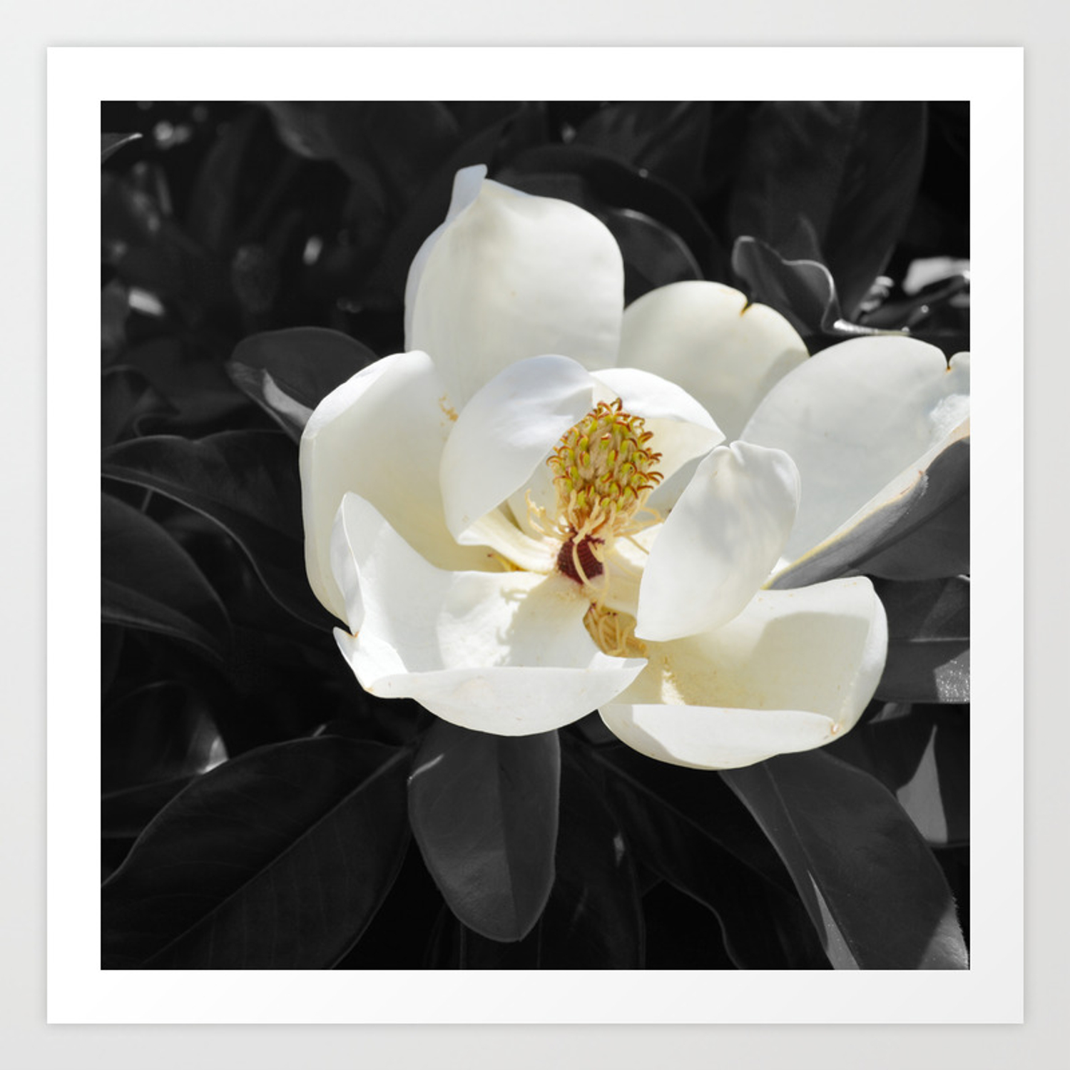 Steel Magnolias Sweet Scented White Magnolia Flower Art Print