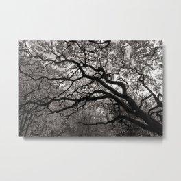 Magnolia Trees in Blossom 01 Metal Print