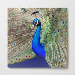Pretty as a Peacock Metal Print