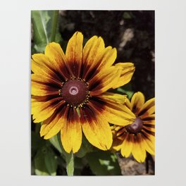 Really Radiant Rudbeckia Poster