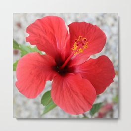 A Stunning Scarlet Hibiscus Tropical Flower Metal Print