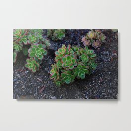 Succulent cactus green flowers red finished a lot of Metal Print