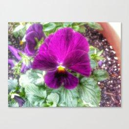 Violet Violas Canvas Print