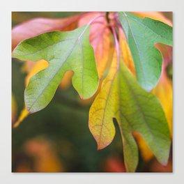 fall sassafras leaves Canvas Print