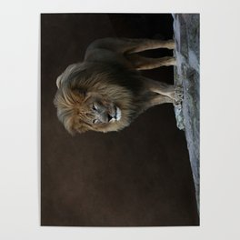 With Age Comes Wisdom - Male Lion Poster