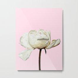 White Peony Pink Background Metal Print