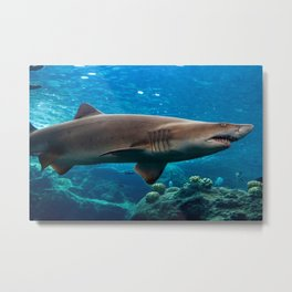 Tiger shark swimming in shallow reef Metal Print