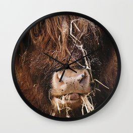 Highland cow feeding on straw on a frosty winters morning. Norfolk, UK. Wall Clock