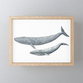 Blue whales (Balaenoptera musculus) - Blue whale Framed Mini Art Print
