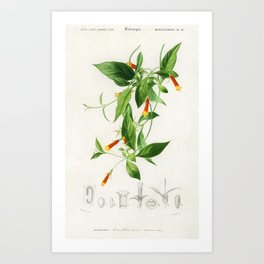 Candy corn Vine (Manettia bicolor) illustrated by Charles Dessalines D Orbigny (1806-1876) Art Print