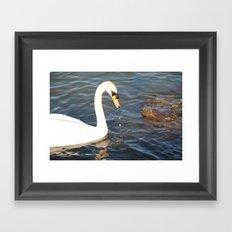 mute swan Framed Art Print