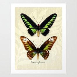 Butterfly15_Trogonoptera Brookiana • pair Art Print