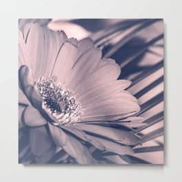 Fresh beautiful Rose Quartz and Serenity colored Gerbera flower close-up Metal Print