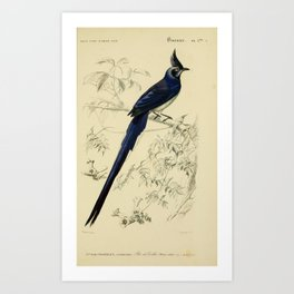 D'Orbigny - Universal Dictionary of Natural History; Birds (1849): 3Abis Black-throated magpie-jay Art Print