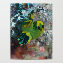 Squishy nembrotha nudi hanging on for dear life Poster