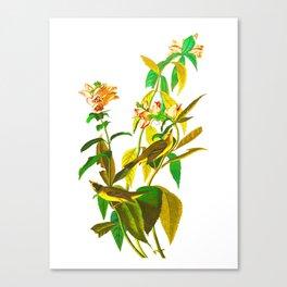 Green Black-capt Flycatcher Canvas Print