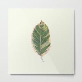 Rubber Tree Ficus Elastica Variegata Metal Print