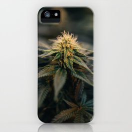 Cannabis Buds Near Full Maturity iPhone Case