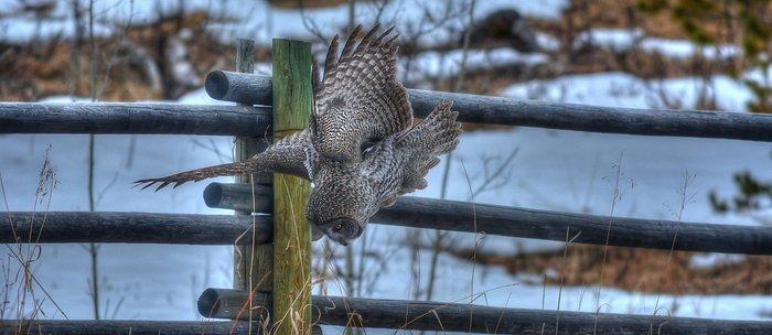 Dive, Dive, Dive! - Great Grey Owl Hunting Coffee Mug