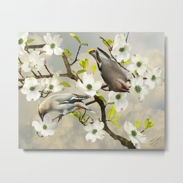 Bohemian Waxwing in Dogwood Tree Metal Print