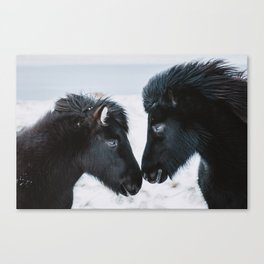 Two Black Icelandic Horses in snowy Winter Landscape Canvas Print