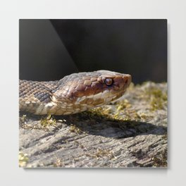 Watercolor Snake, Water Moccasin 13, Merchants Millpond, North Carolina Metal Print