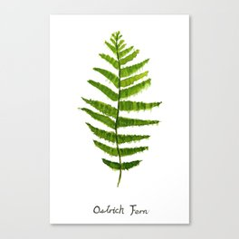 Ostrich fern Canvas Print