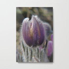 Pasque-flower Metal Print