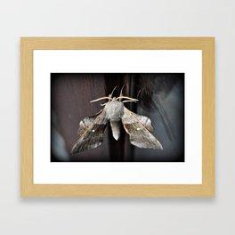 Poplar Hawk moth Framed Art Print