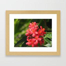 Jatropha red flower Framed Art Print