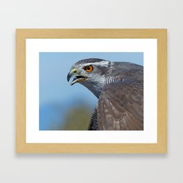 Northern Goshawk Screeching Framed Art Print