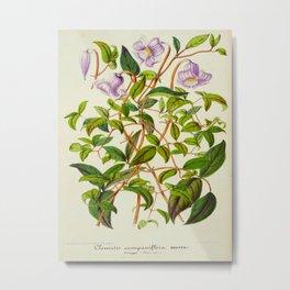 Clematis Campaniflora Vintage Botanical Floral Flower Plant Scientific Illustration Metal Print