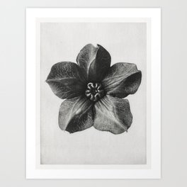 Cobea scandens (Mexican Ivy) calyx enlarged 4 times from Urformen der Kunst (1928) by Karl Blossfeld Art Print