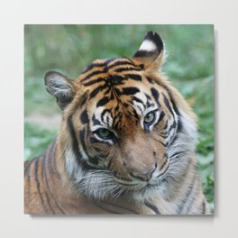 Tiger 002 Metal Print