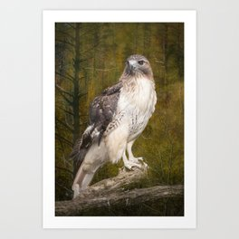 Red Tailed Hawk perched on a branch in the woodlands Art Print