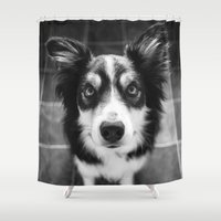 border collie Shower Curtains featuring Tri-coloured border collie. by liamgrantfoto