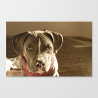pitbull Canvas Prints featuring Pitbull by SachelleJuliaPhotography