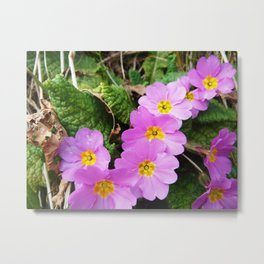Lilac Petals Of Primula Vulgaris Metal Print