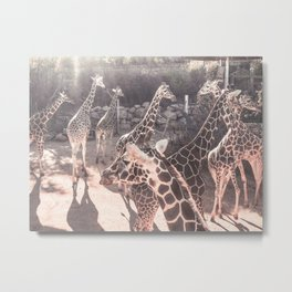 Giraffe Party // Spotted Long Neck Graceful Creatures in Wildlife Preserve Metal Print