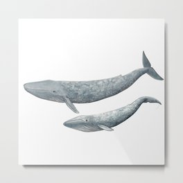 Blue whales (Balaenoptera musculus) - Blue whale Metal Print