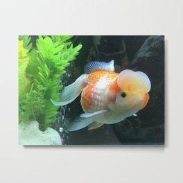 Fancy pearlscale goldfish Metal Print