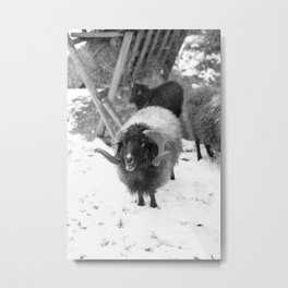 Alpine sheep, black and white photography Metal Print